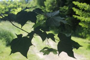 Acer davidii, l'érable de David, feuilles et fructifications (Arboretum du domaine d'Harcourt, 29 mai 2020)