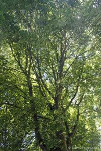 Acer cappadocicum rubrum, l'érable de Cappadoce, originaire du Caucase et d'Asie (Arboretum du domaine d'Harcourt, 29 mai 2020)