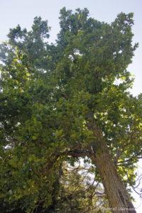 Quercus bicolor, le chêne bicolore, originaire de l'est de l'Amérique du Nord (Arboretum du domaine d'Harcourt, 29 mai 2020)