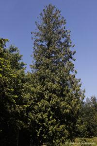 Thuja gigantea, le tuya géant, originaire de l'Ouest de l'Amérique du Nord (Arboretum du domaine d'Harcourt, 29 mai 2020)