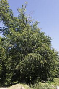 Fagus sylvatica, le hêtre commun, originaire d'Europe (Arboretum du domaine d'Harcourt, 29 mai 2020)