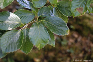 Fagus sylvatica, le hêtre commun, les feuilles (Arboretum du domaine d'Harcourt, 29 mai 2020)