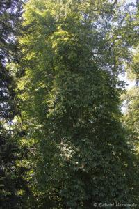 Aesculus hippocastanum, le marronnier d'Inde, originaire d'Asie Mineure (Arboretum du domaine d'Harcourt, 29 mai 2020)