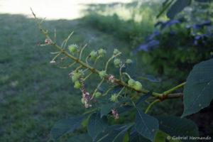 Aesculus hippocastanum, le marronnier d'Inde, début de la fructification (Arboretum du domaine d'Harcourt, 29 mai 2020)