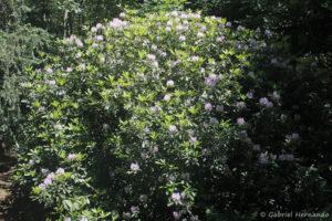 Rhododendron sp. (Arboretum du domaine d'Harcourt, 29 mai 2020)