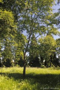 Betula lenta, le bouleau merisier, originaire du Québec (Arboretum du domaine d'Harcourt, 29 mai 2020)