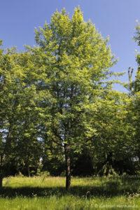 Sorbus domestica, le cormier, originaire d'Eurasie et d'Afrique du Nord (Arboretum du domaine d'Harcourt, 29 mai 2020)