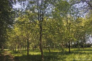 Sorbus torminalis, l'Alisier torminal, originaire d'Eurasie et d'Afrique du Nord (Arboretum du domaine d'Harcourt, 29 mai 2020)