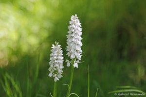 Dactylorhiza fuchsii, l'orchis de Fuchs  (Arboretum du domaine d'Harcourt, 29 mai 2020)