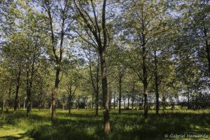 Prunus avium, le merisier,, originaire de mer Caspiennes et d'Europe (Arboretum du domaine d'Harcourt, 29 mai 2020)