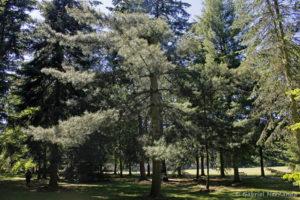 Pinus strobus, le pin de Weymouth, originaire de l'est de l'Amérique du Nord (Arboretum du domaine d'Harcourt, 29 mai 2020)