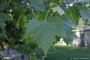 Platanus x acerifolia Willd, le platane à feuilles d'érable, la feuille (Arboretum du domaine d'Harcourt, 29 mai 2020)