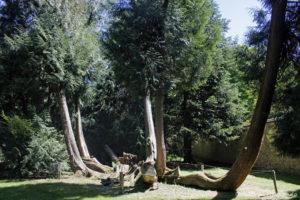 Thuya plicata, le thuya géant, originaire de l'ouest de l'Amérique du Nord (Arboretum du domaine d'Harcourt, 29 mai 2020)