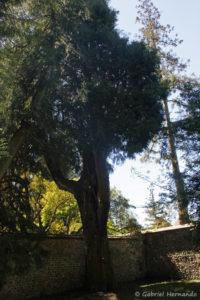 Calocedrus decurrens, le libocèdre, originaire du sud-ouest de l'Amérique (Arboretum du domaine d'Harcourt, 29 mai 2020)