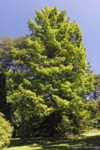 Metasequoia glyptostroboides, le metaséquoia, retrouvé en Chine (Arboretum du domaine d'Harcourt, 29 mai 2020)