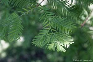 Metasequoia glyptostroboides, le metaséquoia, détail du feuillage (Arboretum du domaine d'Harcourt, 29 mai 2020)