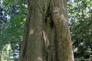 Metasequoia glyptostroboides, le metaséquoia, détail de l'écorce (Arboretum du domaine d'Harcourt, 29 mai 2020)
