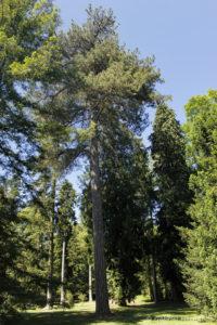 Pinus nigra laricio, le pin laricio, originaire d'Europe du Sud (Arboretum du domaine d'Harcourt, 29 mai 2020)