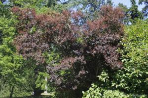 Cotinus coggyria, le sumac de Vénétie, originaire d'Europe du Sud (Arboretum du domaine d'Harcourt, 29 mai 2020)