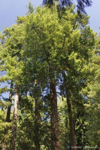 Pseudotsuga menziesii (ex. douglasii), le sapin de Douglas, originaire de l'ouest de l'Amérique du Nord (Arboretum du domaine d'Harcourt, 29 mai 2020)