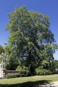 Platanus x acerifolia Willd, le platane à feuilles d'érable, un hybride (Arboretum du domaine d'Harcourt, 29 mai 2020)