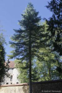 Abies lowiana, le sapin blanc de Californie, originaire de Californie (Arboretum du domaine d'Harcourt, 29 mai 2020)