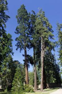 Libocedrus (=Calocedrus) decurens, le cèdre à l'encens, orriginaire du sud-ouest des USA et Sequoiadendron giganteum, le séquoia géant, originaire de Californie (Arboretum du domaine d'Harcourt, 29 mai 2020)