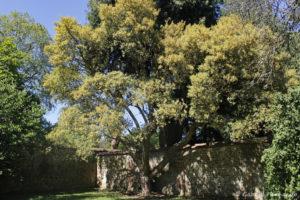 Quercus suber L., le chêne liège, originaire de Méditerranée (Arboretum du domaine d'Harcourt, 29 mai 2020)