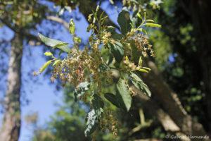 Quercus suber L., le chêne liège, la floraison (Arboretum du domaine d'Harcourt, 29 mai 2020)