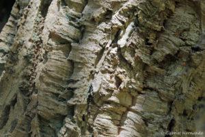 Quercus suber L., le chêne liège, l'écorce (Arboretum du domaine d'Harcourt, 29 mai 2020)