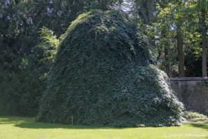 Fagus sylvatica var. tortuosa Pépin, le hêtre tortillard, originaire d'Europe (Arboretum du domaine d'Harcourt, 29 mai 2020)