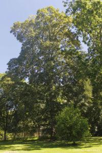 Quercus petraea, le chêne sessile, originaire d'Europe et d'Asie mineure (Arboretum du domaine d'Harcourt, 29 mai 2020)