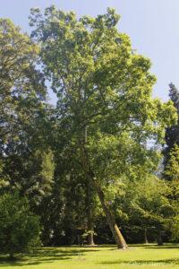 Acer pseudoplatanus, l'érable sycomore, originaire d'Europe et de l'Ouest asiatique (Arboretum du domaine d'Harcourt, 29 mai 2020)