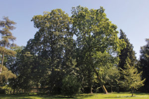 Quercus petraea, le chêne sessile, originaire d'Europe et d'Asie mineure, et Acer pseudoplatanus, l'érable sycomore, originaire d'Europe et de l'Ouest asiatique (Arboretum du domaine d'Harcourt, 29 mai 2020)