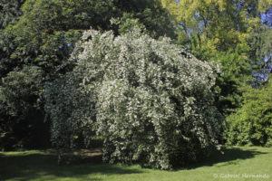 Philadelphus coronarius, le seringa, originaire d'Eurasie (Arboretum du domaine d'Harcourt, 29 mai 2020)