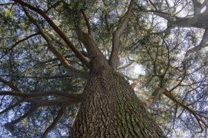 Cedrus libani, le cèdre du Liban, originaire du Moyen-Orient (Arboretum du domaine d'Harcourt, 29 mai 2020)