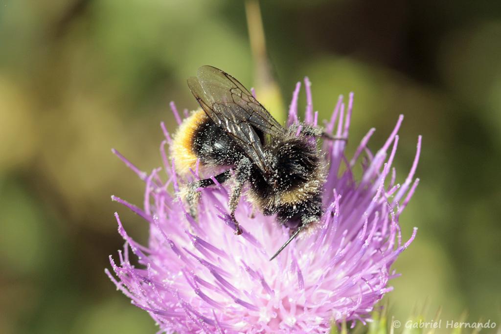 Espèce d'Apidae (Bombus sp.) non identifié, photographié dans la valleuse des Moustiers, à Varengeville-sur-Mer, en août 2018