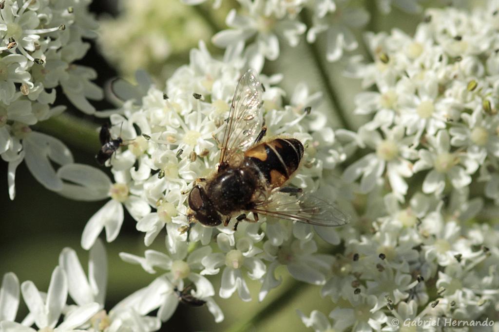 Espèce de Syrphidae (syrphe) non identifiée, photographié dans la valleuse des Moustiers, à Varengeville-sur-Mer, en août 2018