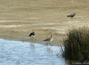 Vanneau huppé et Barge rousse - Vanellus vanellus et Limosa lapponica (Parc du Marquenterre, août 2018)