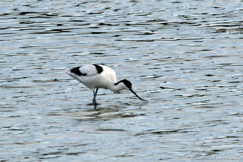 Avocette élégante - Recurvirostra avosetta (Parc du Marquenterre, août 2018)