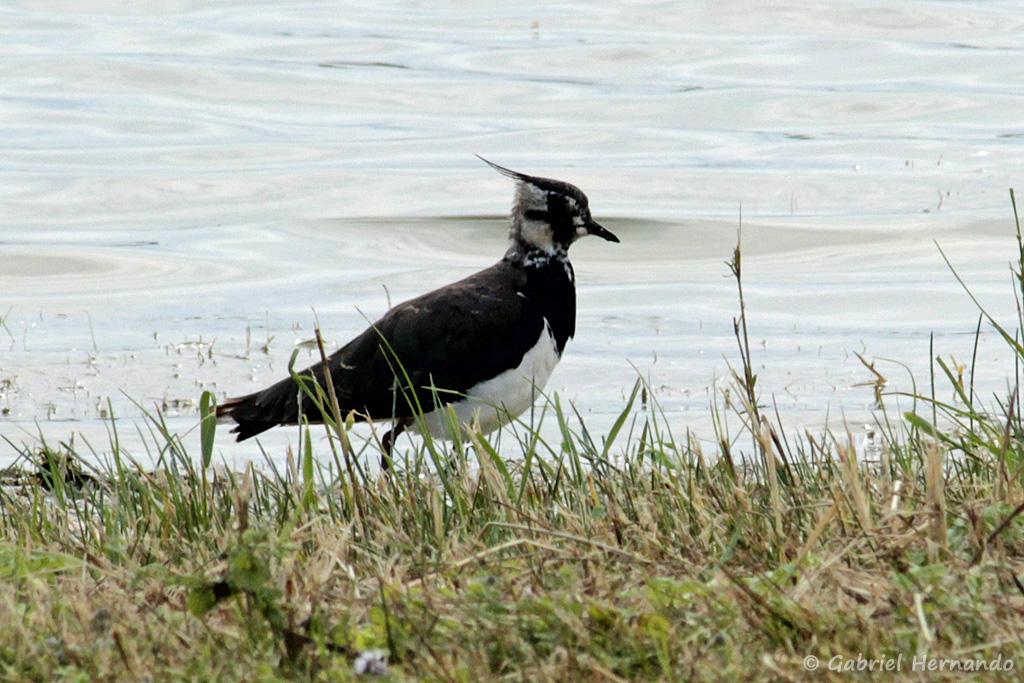 Vanneau huppé - Vanellus vanellus (Parc du Marquenterre, août 2018)