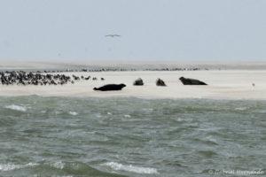 Phoca vitulina et Halichoerus grypus - Phoques veau marin et phoques gris sur un banc de sable de la baie de Somme (août 2018)