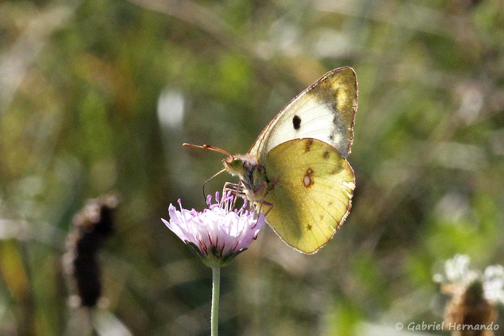 Papillon non identifié (Colorado de Rustrel, septembre 2018)