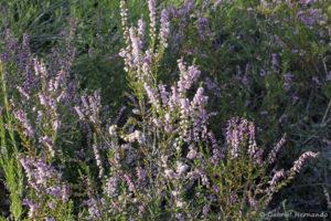 Bruyère multiflore - Erica multiflora (Colorado de Rustrel, septembre 2018)