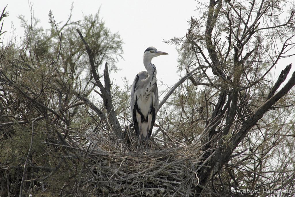 Héron cendré, dans son nid - Ardea cinerea (parc ornithologique Pont de Gau, septembre 2017)