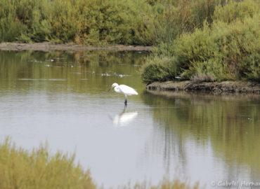 Aigrette garzette - Egretta garzetta (parc ornithologique Pont de Gau, septembre 2017)