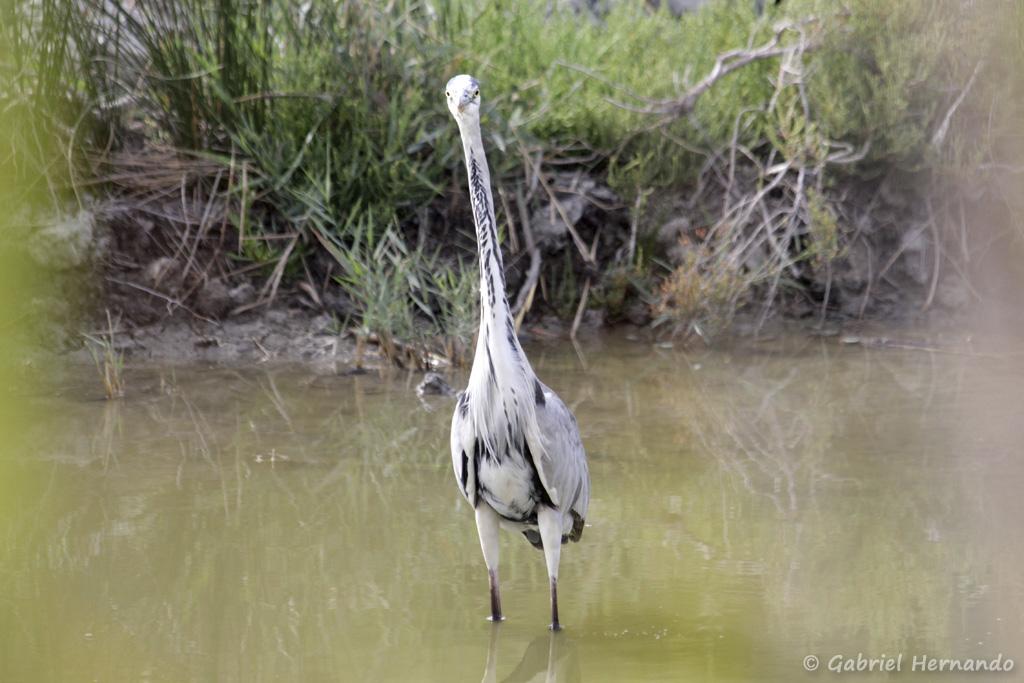 Héron cendré - Ardea cinerea (parc ornithologique Pont de Gau, septembre 2017)