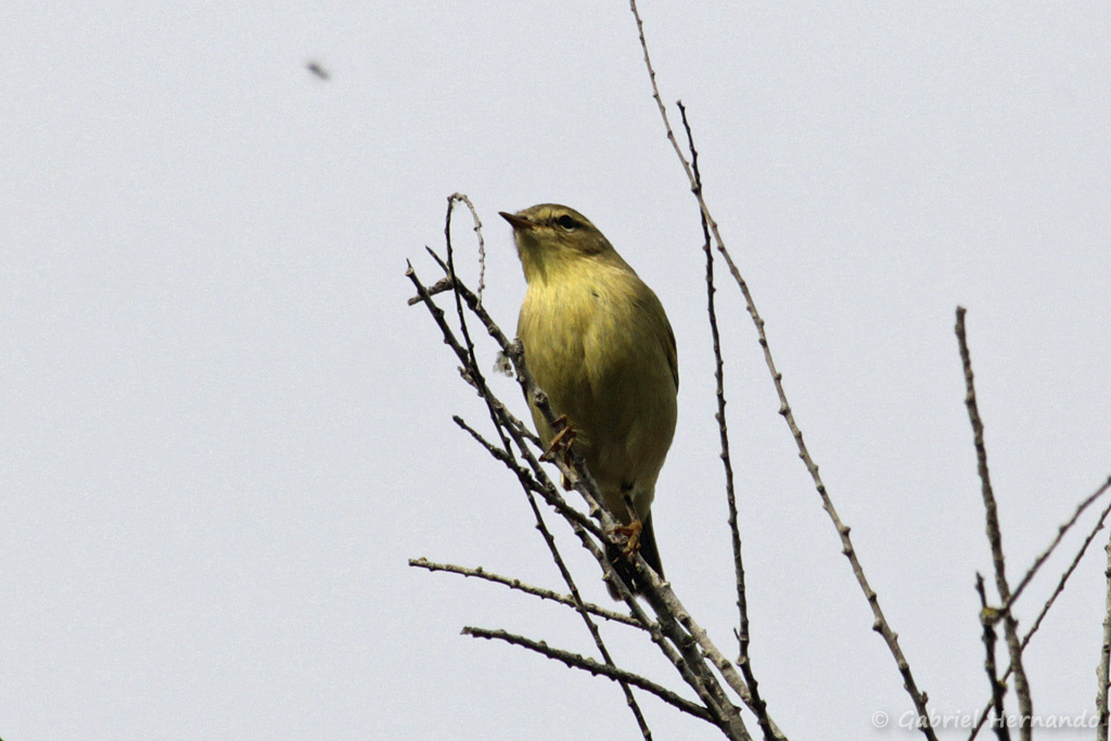 Pouillot véloce, a priori - Phylloscopus cf. collybita (parc ornithologique Pont de Gau, septembre 2017)