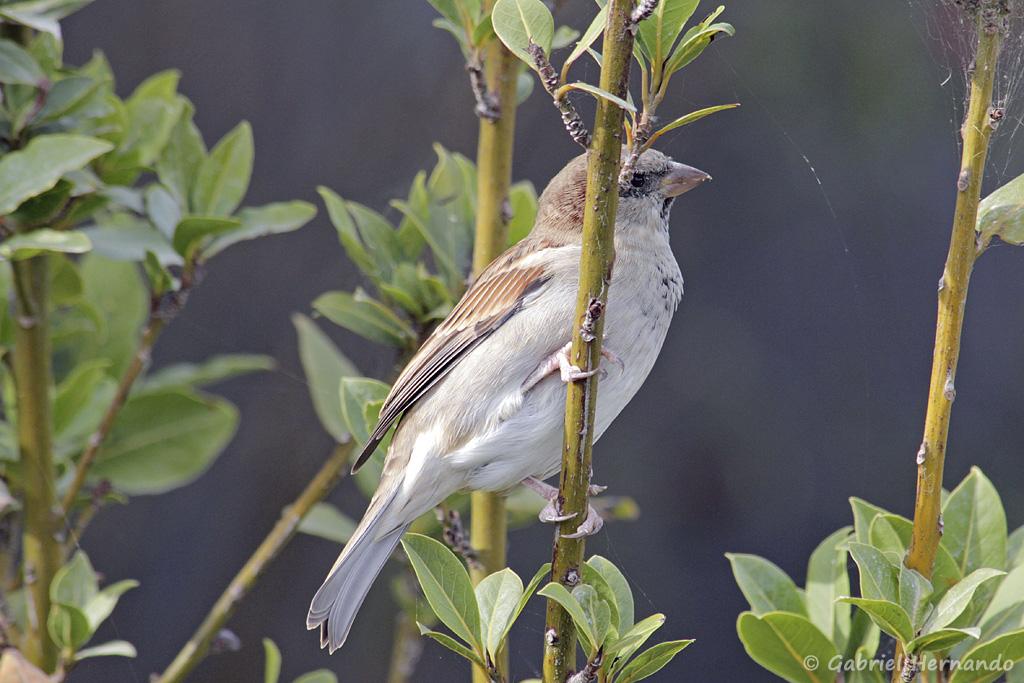 Moineau domestique - Passer domesticus (parc ornithologique Pont de Gau, septembre 2017)