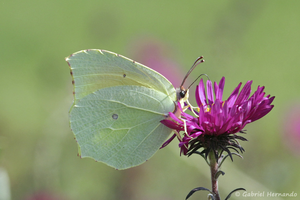 Gonepteryx rhamni L. - Le Citron (Nîmes, septembre 2017)